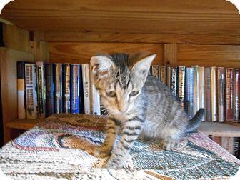 Domestic Shorthair Cat for adoption in Parkton, North Carolina - Jackie Nina
