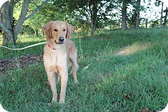 Golden Retriever Mix Dog for adoption in Hagerstown, Maryland - Rudy