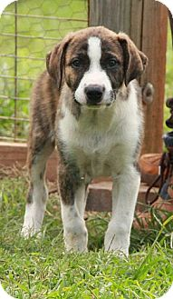 St. Bernard Mix Puppy for adoption in Rochester, New York - Benji