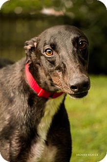 "Greyhound Dog for adoption in Smyrna, Tennessee - PJ Out Dash Me ""Dash"""