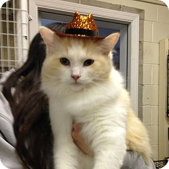Ragdoll Cat for adoption in Long Beach, New York - Nougat