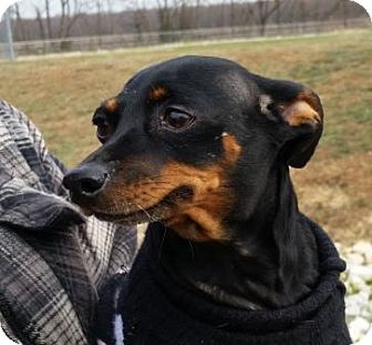 Rat Terrier/Chihuahua Mix Dog for adoption in Huntingburg, Indiana - Shay