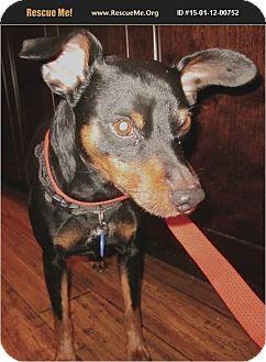 Miniature Pinscher Dog for adoption in Denver, Colorado - Max