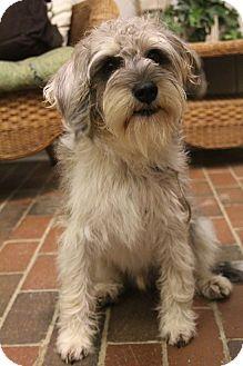 Schnauzer (Miniature)/Beagle Mix Puppy for adoption in Allentown, Pennsylvania - McGee