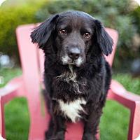 Adopt A Pet :: Finley - Alexandria, VA