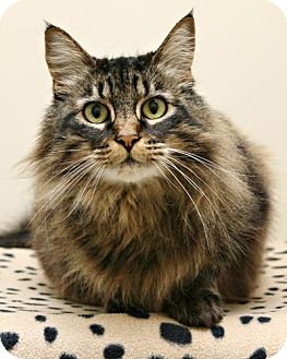 Domestic Longhair Cat for adoption in Bellingham, Washington - Libby