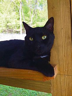 Domestic Shorthair Cat for adoption in Huguenot, New York - Gilmour