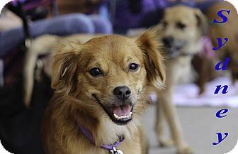 Pomeranian/Spaniel (Unknown Type) Mix Puppy for adoption in Alpharetta, Georgia - Sydney