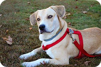 Labrador Retriever/Mountain Cur Mix Dog for adoption in Brattleboro, Vermont - DUKE