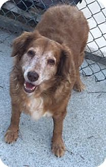 Golden Retriever Dog for adoption in Roanoke, Virginia - Lainey