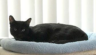 Domestic Shorthair Kitten for adoption in Harrison, New York - Shelby