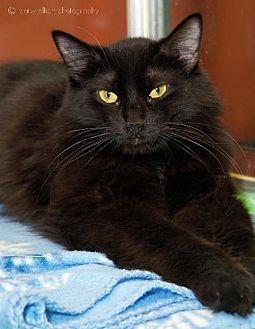 Domestic Longhair Cat for adoption in Tucson, Arizona - Speedy