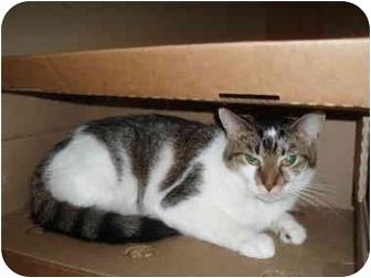 Domestic Shorthair Cat for adoption in Hamburg, New York - Merakkesh