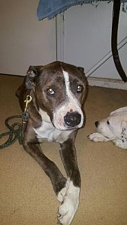 American Bulldog/Pit Bull Terrier Mix Dog for adoption in Las Vegas, Nevada - Spartacus