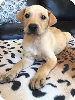 Labrador Retriever Mix Puppy for adoption in CUMMING, Georgia - Martini