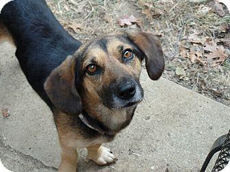 Basset Hound/Beagle Mix Dog for adoption in Haggerstown, Maryland - Lucille