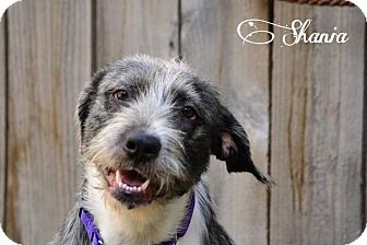 Wirehaired Pointing Griffon/Schnauzer (Standard) Mix Dog for adoption in Pittsburgh, Pennsylvania - Shania