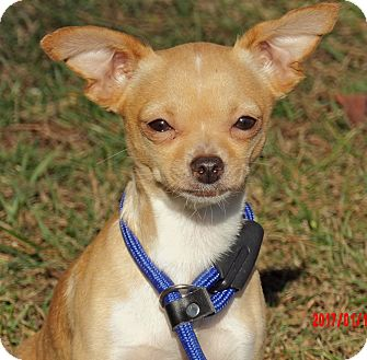 Chihuahua Dog for adoption in SUSSEX, New Jersey - Snowflake (7 lb) Sweetie Pie