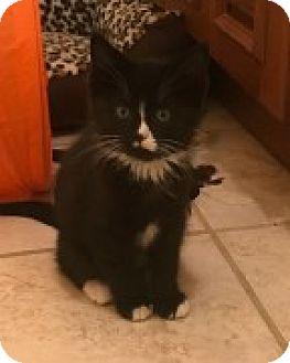 Domestic Mediumhair Kitten for adoption in McHenry, Illinois - Genny (Genesis)