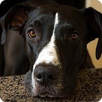 Adopt A Pet :: Harper - Phoenix, AZ