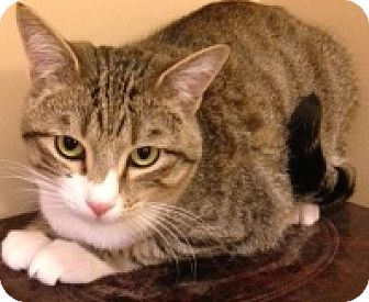 Domestic Shorthair Kitten for adoption in Buhl, Idaho - Moslee