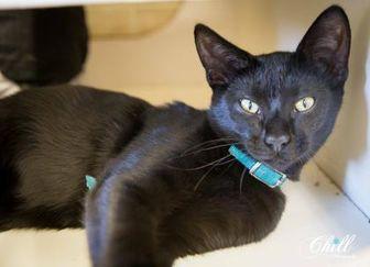 Domestic Shorthair/Domestic Shorthair Mix Cat for adoption in Garland, Texas - Krum