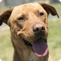 Adopt A Pet :: BIG RED - Rootstown, OH