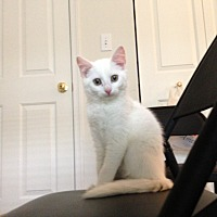 Adopt A Pet :: Braveheart - Greensburg, PA