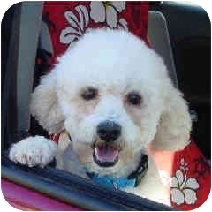 Bichon Frise Mix Puppy for adoption in La Costa, California - Doodles