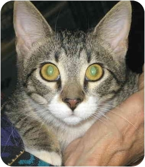 Domestic Shorthair Kitten for adoption in Alden, Iowa - Winstone