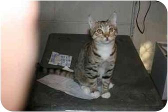 Domestic Shorthair Cat for adoption in Overland Park, Kansas - Adam