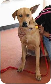Labrador Retriever/Shepherd (Unknown Type) Mix Dog for adoption in Coral Springs, Florida - Tough Guy