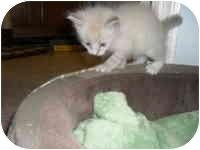 Siamese Kitten for adoption in Tampa, Florida - Alyssa