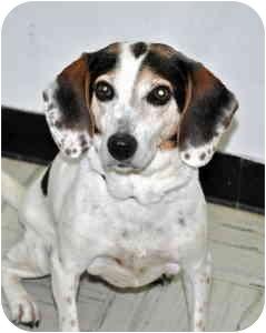 Beagle Mix Dog for adoption in Port Washington, New York - Hannah