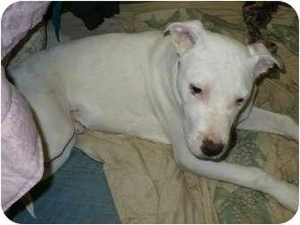 Labrador Retriever/Great Dane Mix Dog for adoption in Bakersfield, California - Ricky