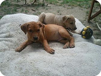 Labrador Retriever/Mountain Cur Mix Puppy for adoption in Wappingers, New York - Clyde