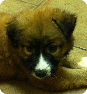"German Shepherd Dog/St. Bernard Mix Puppy for adoption in Oswego, Illinois - X Mas Presents Ltr ""Belle"""