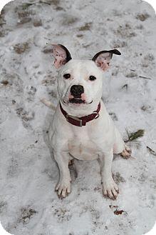 Boston Terrier/American Bulldog Mix Dog for adoption in Muskegon, Michigan - Bianca