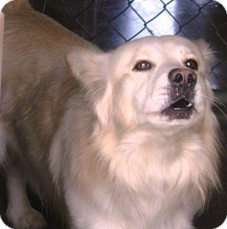 Pembroke Welsh Corgi Mix Dog for adoption in Cibolo, Texas - Lenny