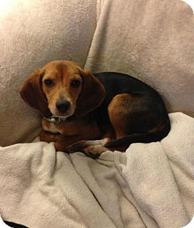 Beagle Puppy for adoption in Chicago, Illinois - Betty