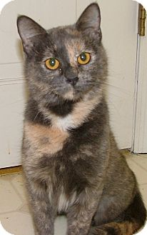 Domestic Shorthair Cat for adoption in Chattanooga, Tennessee - Greta