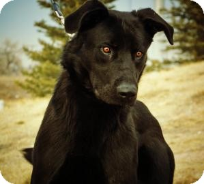 Labrador Retriever/German Shepherd Dog Mix Dog for adoption in Cheyenne, Wyoming - Hoke Sheila