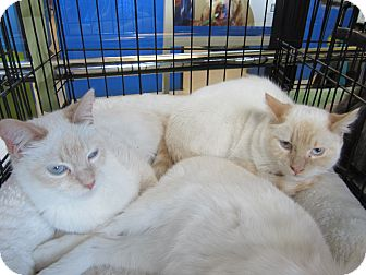 Siamese Cat for adoption in Easley, South Carolina - Flame Boys