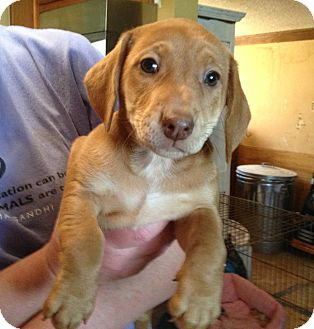 Dachshund/Labrador Retriever Mix Puppy for adoption in Olive Branch, Mississippi - Pup#5-ADOPTED!!