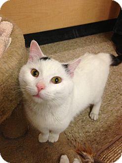 Domestic Shorthair Cat for adoption in Monroe, Georgia - Casspurr