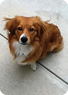 Corgi/Dachshund Mix Puppy for adoption in Whittier, California - Hank... Corgi Puppy!