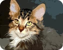 Maine Coon Kitten for adoption in Palm desert, California - Mack