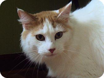 Turkish Van Cat for adoption in Daisy, Georgia - Sully *Courtesy*