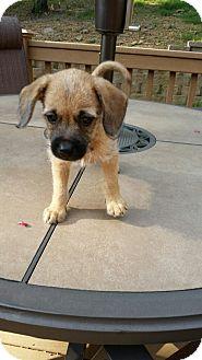 Rat Terrier/Dachshund Mix Puppy for adoption in Glastonbury, Connecticut - Hazel