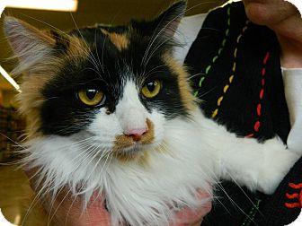 Maine Coon Cat for adoption in Farmington, Michigan - Fortune Cookie